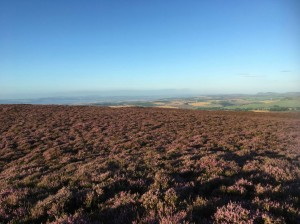 Auchterhouse Hill with heather in full bloom